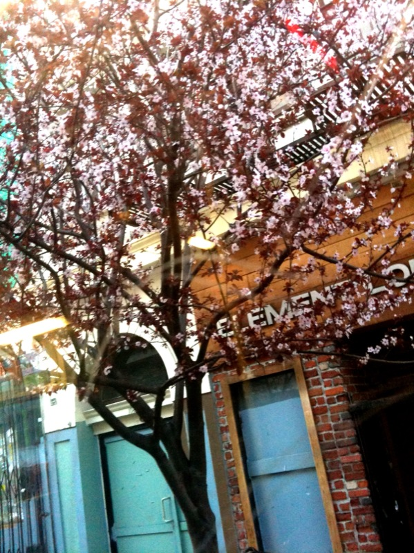Blooming cherry blossoms seen from inside the bus