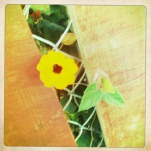 A flower reaching through the fences