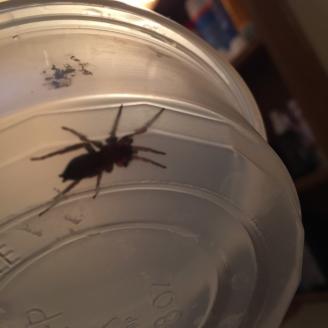 Spider in a plastic tub